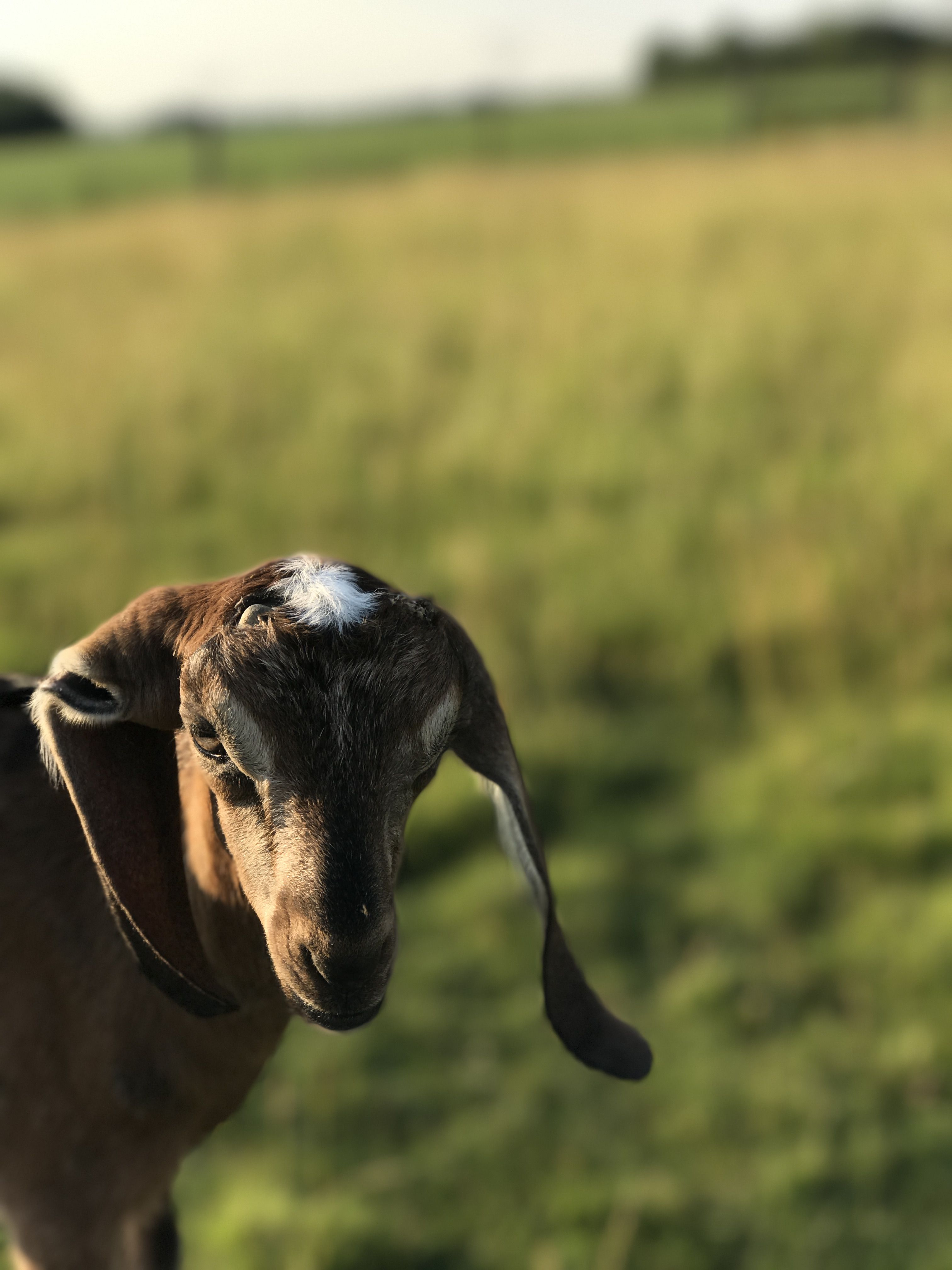 Meet Flip Flop our newest goat kid. She's a sweetie.