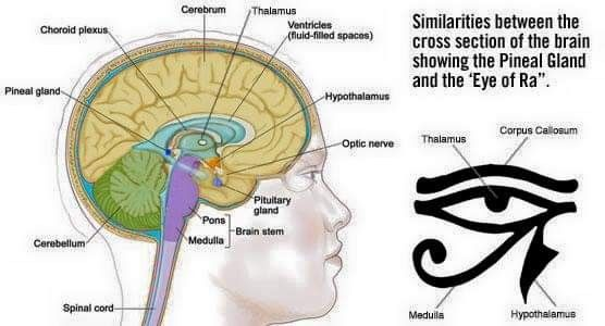 Pin by April Jean on Knowledge | Pineal gland, Pituitary ...