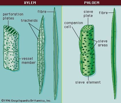 Xylem and phloem cells photosynthesis lessons for middle and high xylem and phloem cells ccuart Image collections