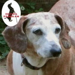 Trixie Is An Adoptable Dachshund Dog In Norfolk Va Eligible For