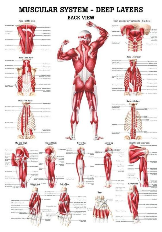 The Muscular System Deep Layers Back Laminated Anatomy Chart