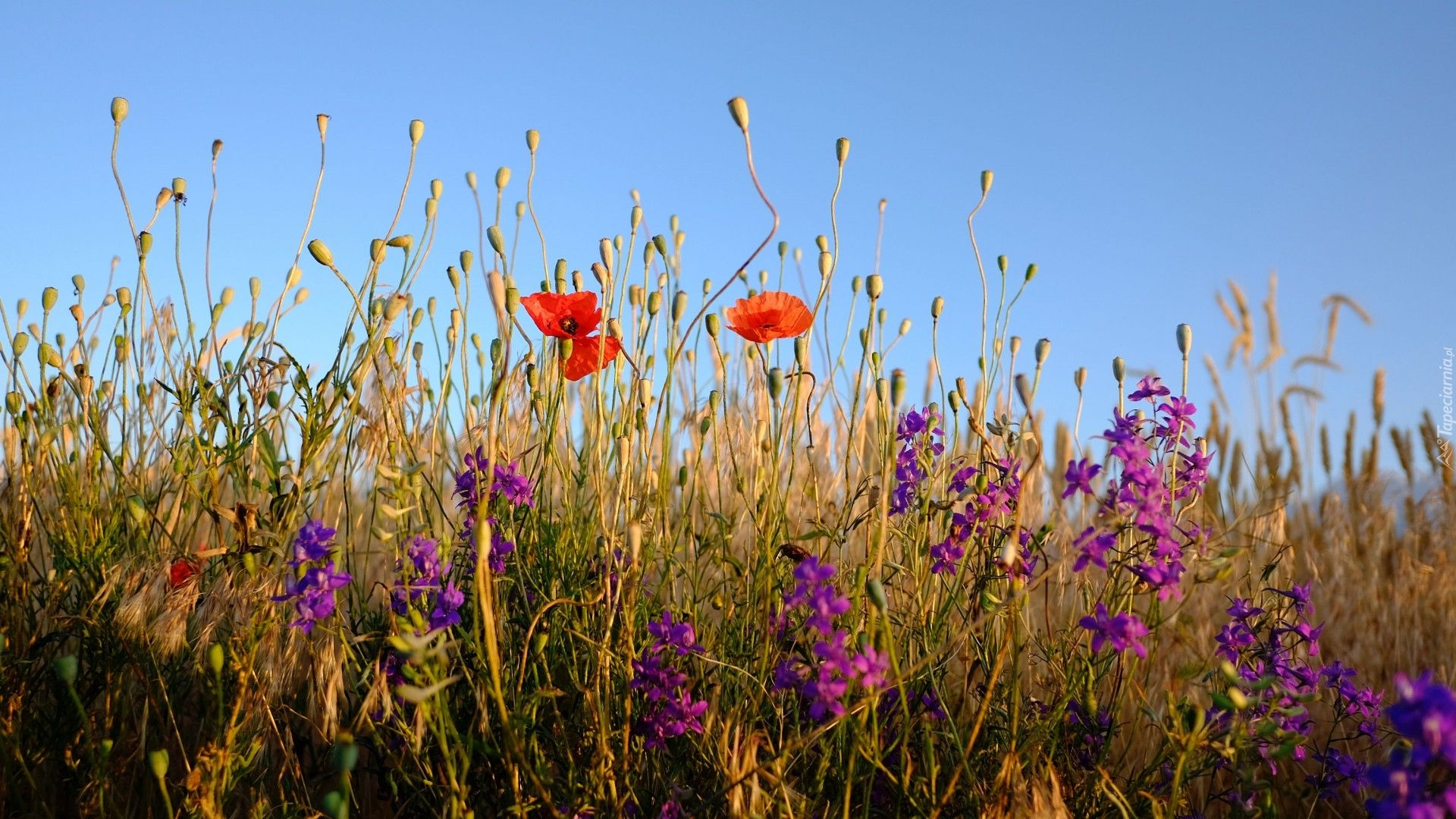 Laka Polne Kwiaty Maki Piekne Tapety Na Twoj Pulpit Wild Flowers Plants Plant Wallpaper