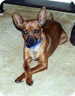 Brattleboro Vt Miniature Pinscher Chihuahua Mix Meet Doris Aka
