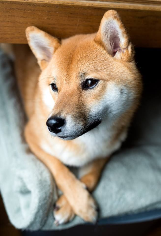 Shiba Inu`s! It`s my dream to one day own one.