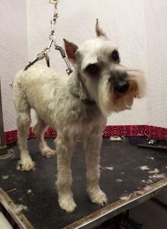 Adopt Gretel On Petfinder Schnauzer Dogs Love Pet Dogs