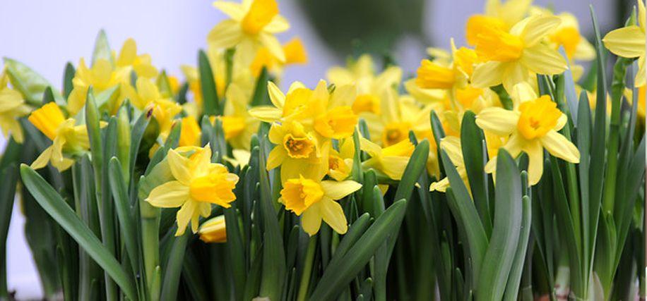 Daffodils, February 2016