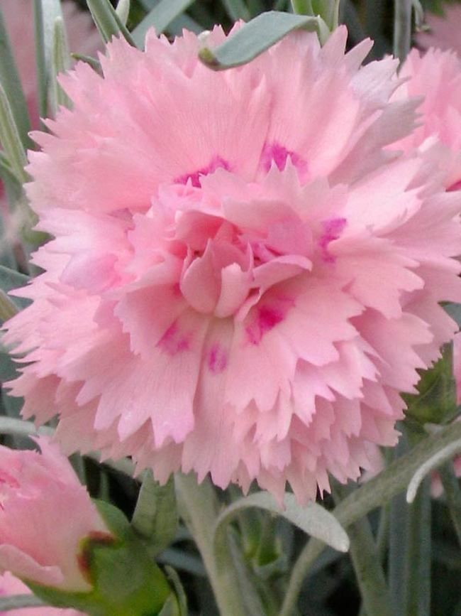 Dianthus Candy Floss Dianthus Flowers Beautiful Pink Flowers Fragrant Flowers