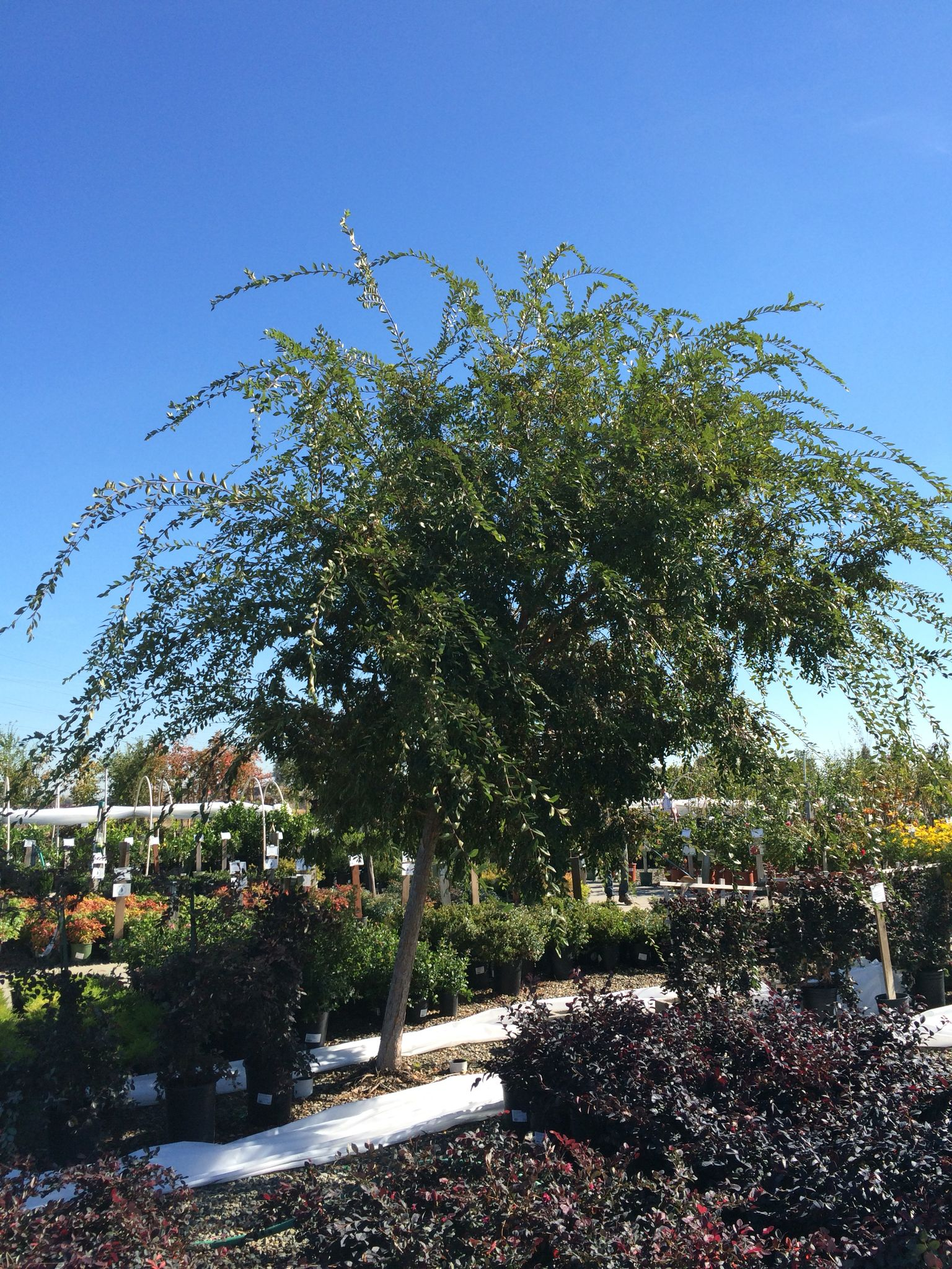 Weeping Chinese Elm Evergreen Fast Growing Trees