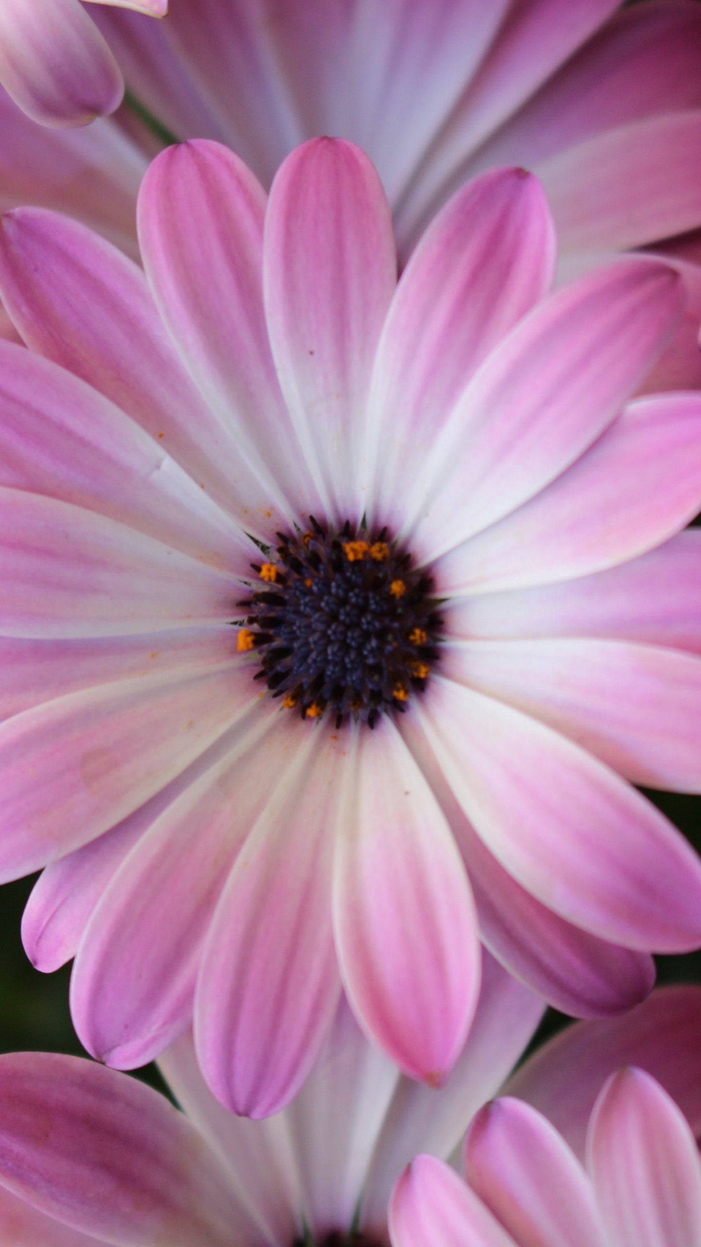 Purple Daisies Wallpaper iPhone, Android & Desktop