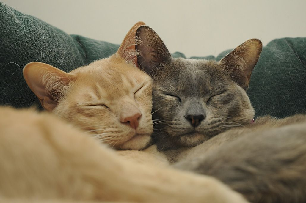 The Burmese Is A Breed Of Domesticated Cats Not To Be Confused With Sacred Cat Of Burma Most Modern Burmese Are Desc Kuschelkatze Hubsche Katzen Susse Katzen