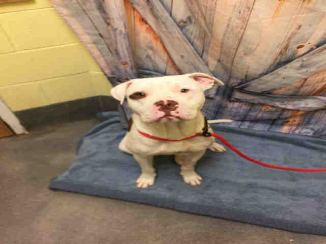 American Bulldog Dog For Adoption In Forestville Md Adn 636264