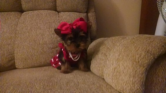 Yorkie Pet Dog Puppies For Sale In Watertown Ny A00080 Want Ad