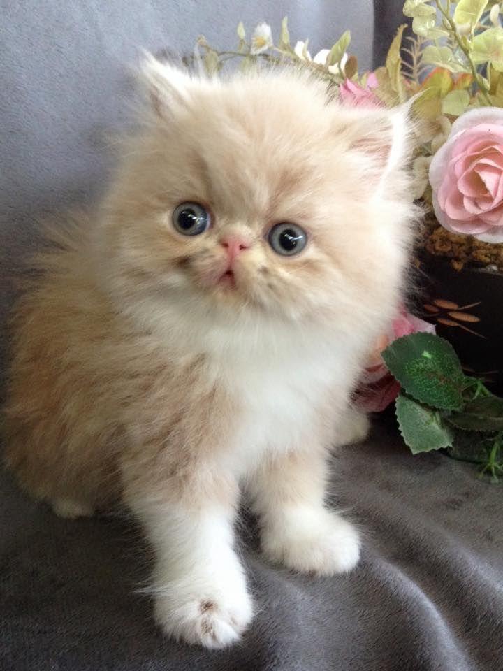 Cat Booklover Cutenessoverload Image Kittens Hub Instagram แมว แมวเปอร เซ ย ล กแมว