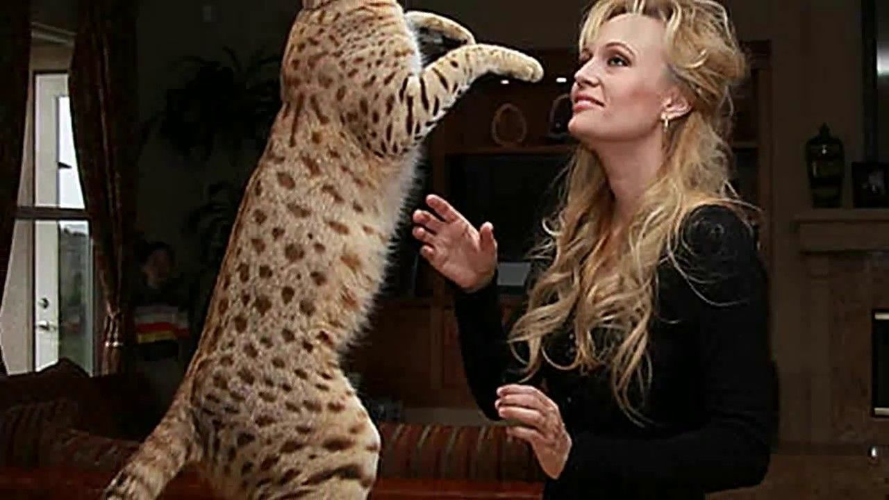 Bengal Cats Size And Weight The Average Bengal Is Not Fully Grown Until It Is Between One And A Half And Two Years Old Bengal Cat Bengal Cat Full Grown Bengal