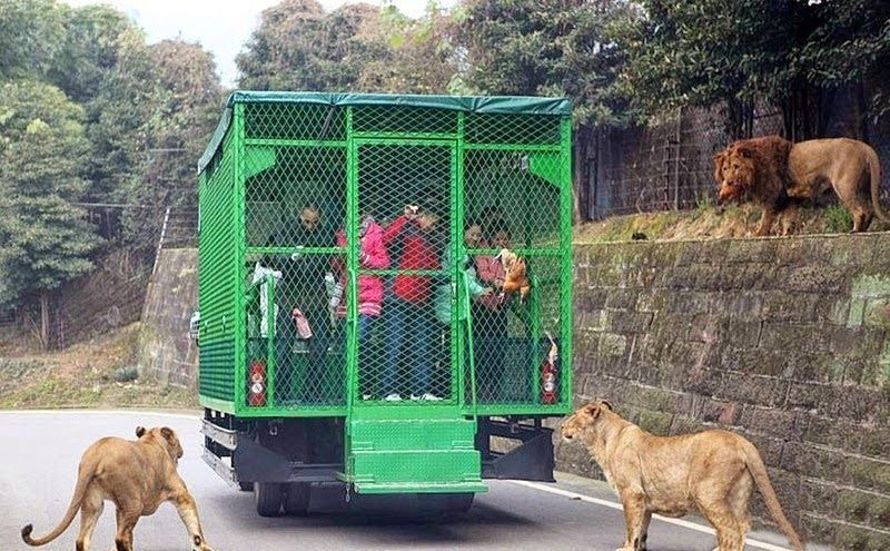 humans-are-caged-so-that-animals-can-roam-freely-in-lehe-ledu-wildlife-zoo-of-china