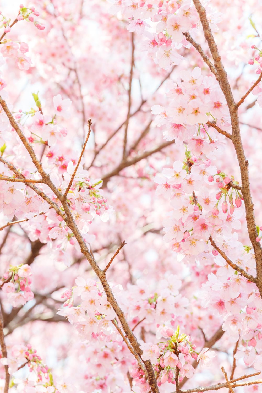 Cherry Blossom In Tokyo At Kitanomaru Park Japan In 2021 Photo Spots Cherry Blossom Japan Cherry Blossom