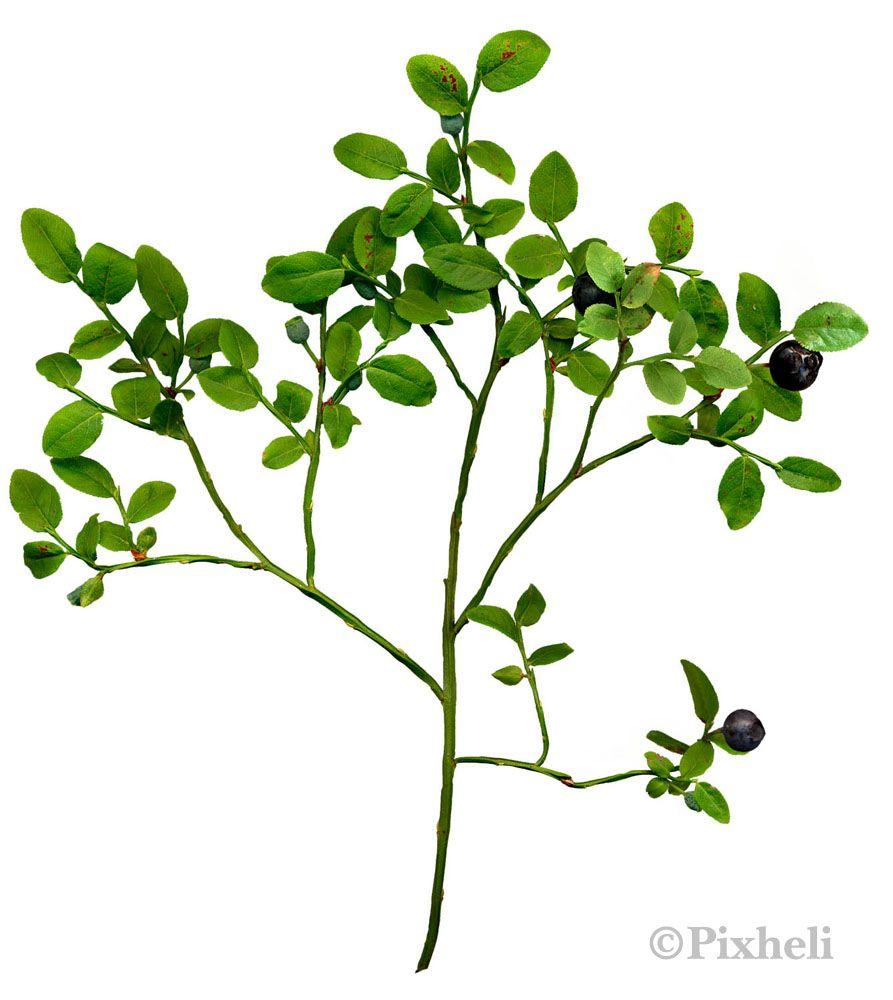 Takapihan yrttikasvit: Mustikka