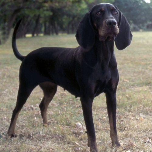 black and tan coonhound photo | Black and Tan Coonhound ...