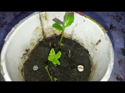طريقة زراعة شجرة الليمون من البذره فى المنزل وموعد وطرق رعايتها How To Plants