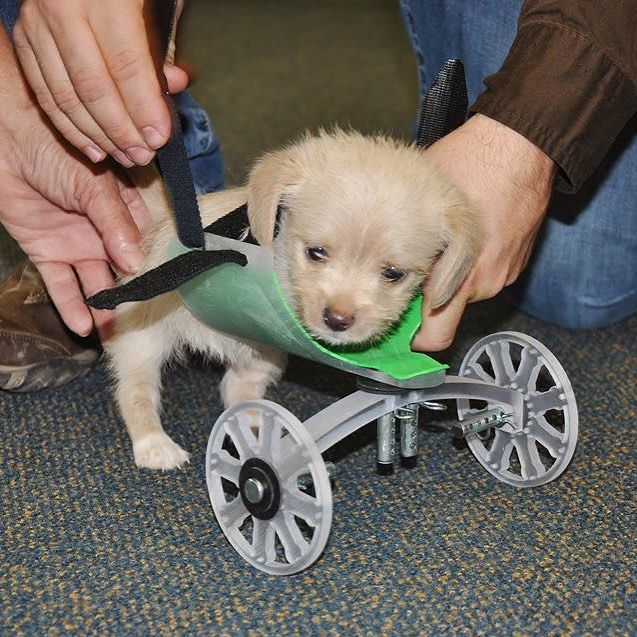 Tumbles a six-week-old terrier mix will soon be able to run and play thanks to the Ohio University Innovation Center. After a shelter volunteer rescued Tumbles at just two weeks old the good people at the Innovation Center on recommendation from a local veterinarian made him a 3D-printed wheelchair to improve his mobility. His wheelchair took 14 hours to print and wraps around his body like a harness. #3DPrinting #adorable #puppies by dailydot