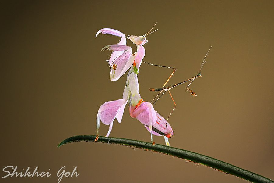 Kungfu Mantis Praying Mantis Orchid Mantis Animals Amazing