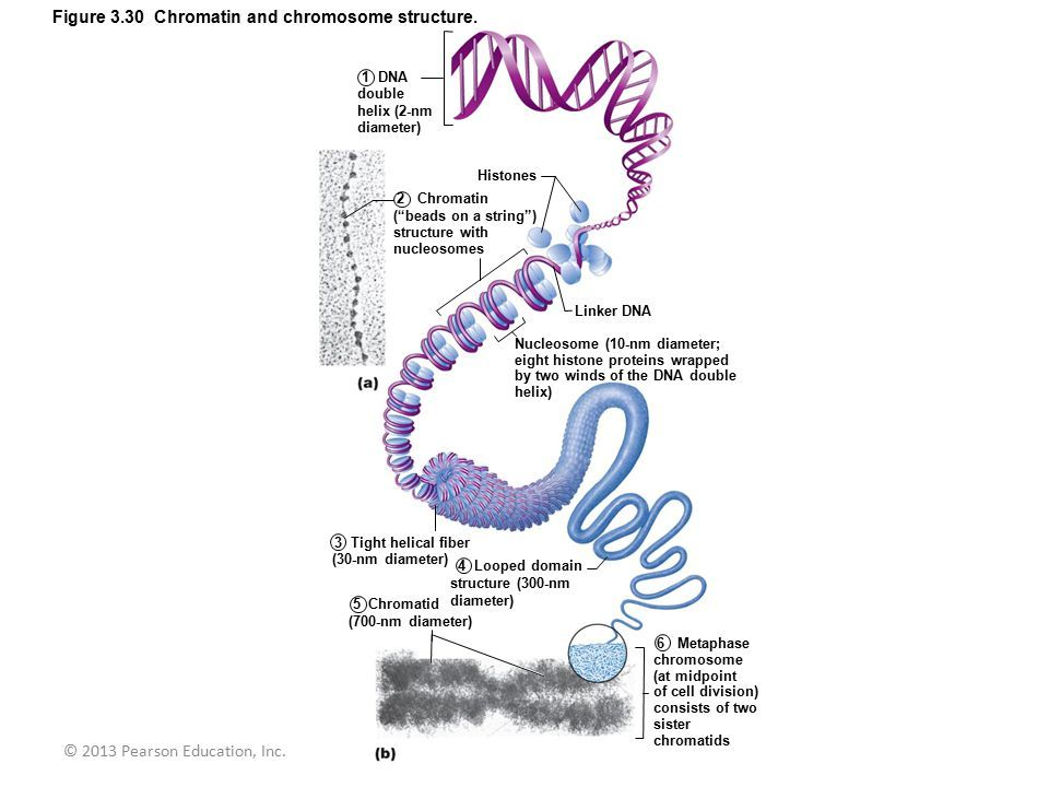 Image result for chromatin beads on a string exsc223 diagrams image result for chromatin beads on a string fandeluxe Gallery
