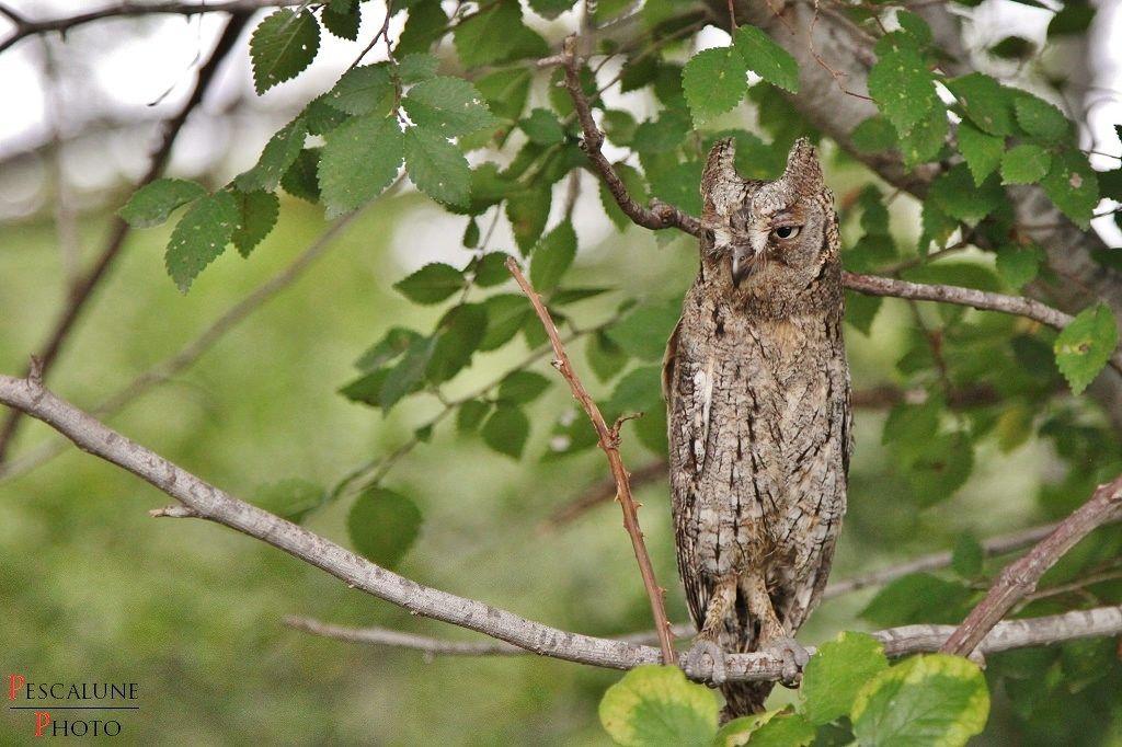 https://flic.kr/p/xuQsTy | Hibou petit-duc (Otus scops),  Scops owl