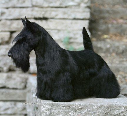 Unleashed Westminster S Best In Show Sadie To Make Grand Hotel Visit Scottie Scottie Dog Westminster Dog Show