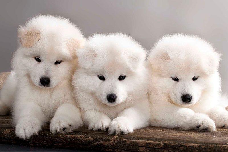 Samoyed Puppies Samoyed Dogs Samoyed Puppy Cute Dogs