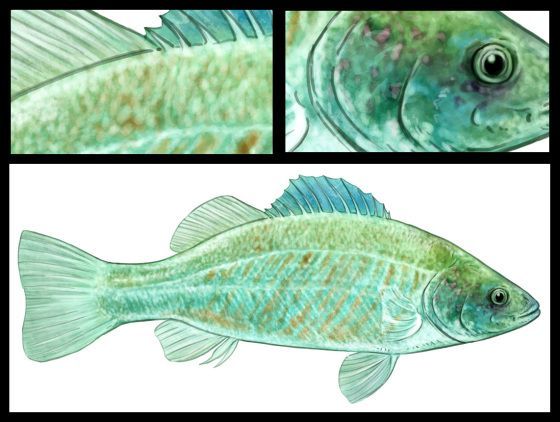 Spangled-Perch This species may survive in bottom mud or damp leaf litter, when waters dry up. Often this species is found in large numbers only a few days after rain in locations that were dry just prior to the rain and which have no connection with permanent water