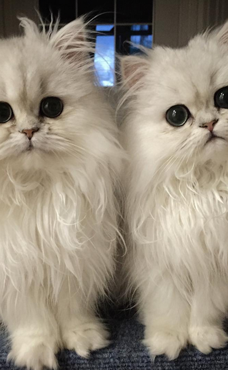 These Cats Are So Fluffy They Don T Look Real Hayvan Resimleri Yavru Kediler Kedi