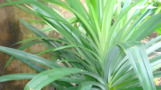 Pandan Plant Or Rambha A Medicinal And Aromatic