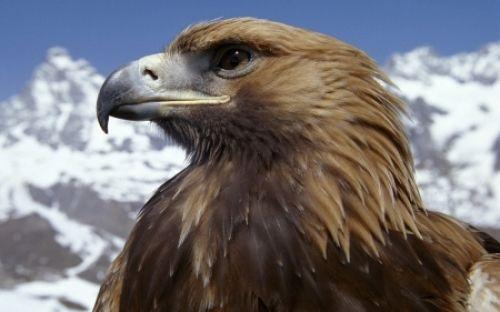 Golden Eagle Hd Desktop Wallpaper Eagle Wallpaper Eagle Pictures Eagle Images