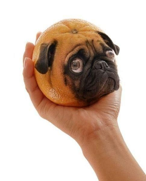 Can Dogs Eat Oranges Dogs Dog Health