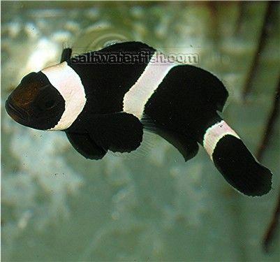 Black And White Clownfish