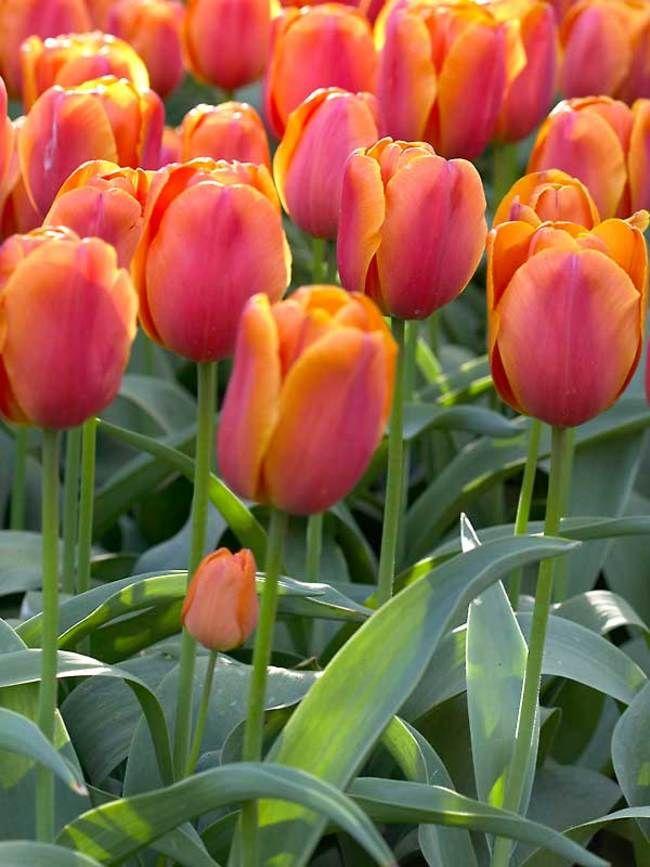 Tulip Christmas Orange -- Bluestone Perennials
