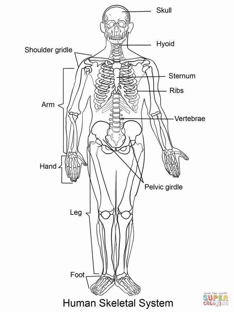 Human Skeleton Coloring Page Human Skeleton Coloring Pages Human