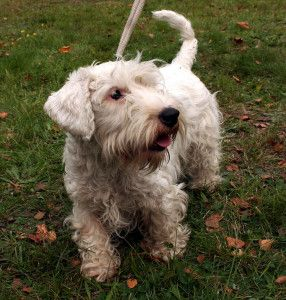List Of Dogs That Don T Shed Much With Pictures Sealyham Terrier Dog Breeds Dog List