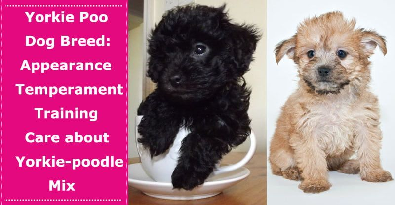 Yorkie Poo Dog Breed Appearance Temperament Training Care About This Teacup Yorkie Poodle Mix With Images