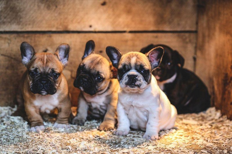 French Bulldog Puppies Price Range How Much Do French Bulldogs