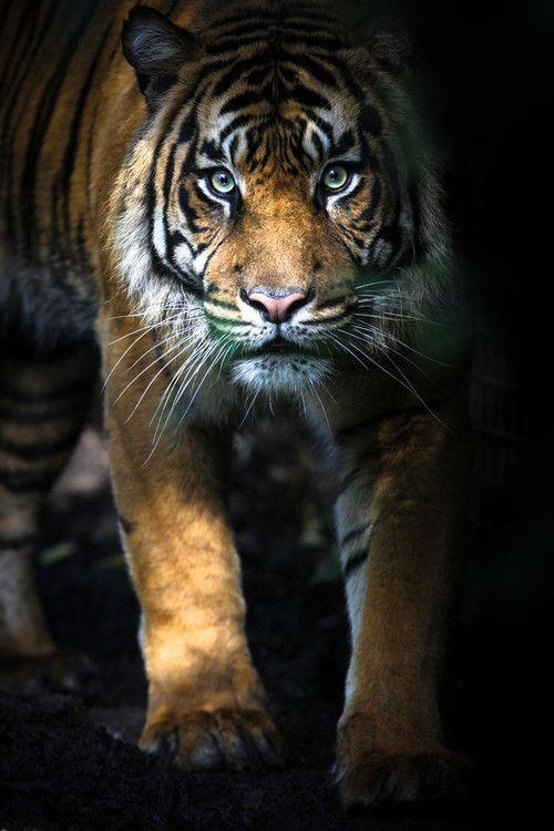 Tiger byGemma Ortlipp
