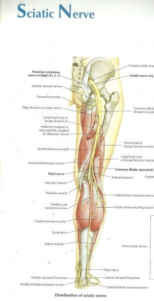 Image of sciatic Nerve and its Branches | Anatomy and Physiology ...