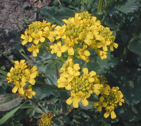 Yellow Rocket Flowers This Plant Is Related To Broccoli And Arugula Edible
