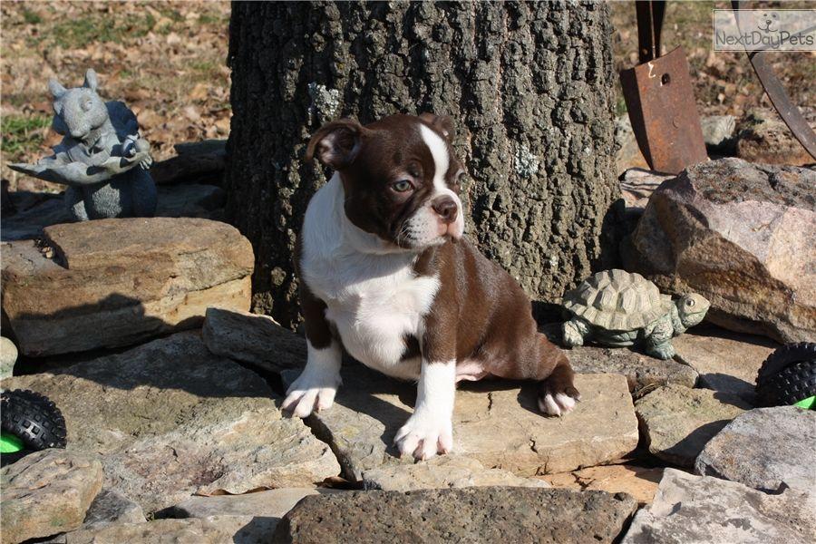 Boston Terrier Puppy For Sale Near Southeast Missouri Missouri