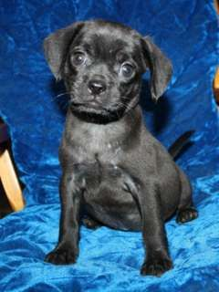 Black Puggles Black Puggle Female 250 Usd Black Puggle