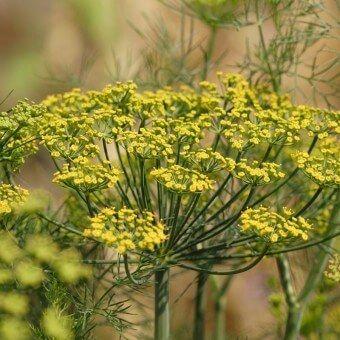 Dill Seeds Companion Planting Plants Companion Gardening 400 x 300