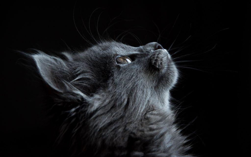 Fond D Ecran Gratuit A Telecharger Un Superbe Chat Gris Fonce De Profil Sur Un Fond Noir In 2020 Cats Pets Cats Cat Care