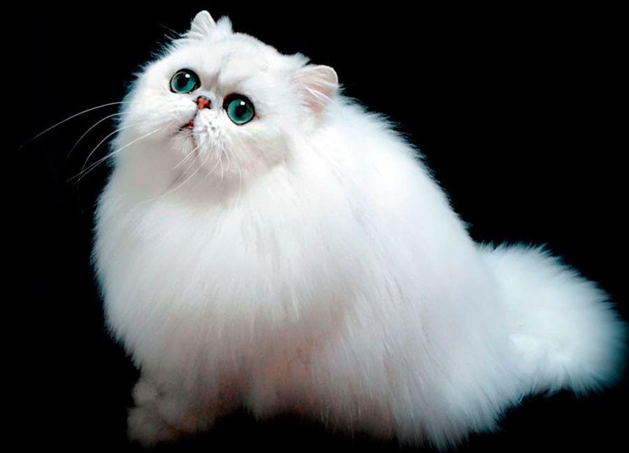 картинки кошек породистых пушистых материал отснят подходим