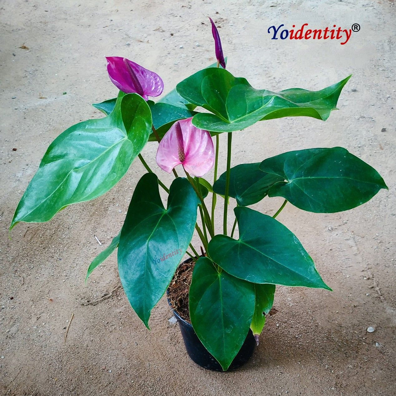 Anthurium In 2020 Online Plant Nursery Plant Nursery Buy Indoor Plants