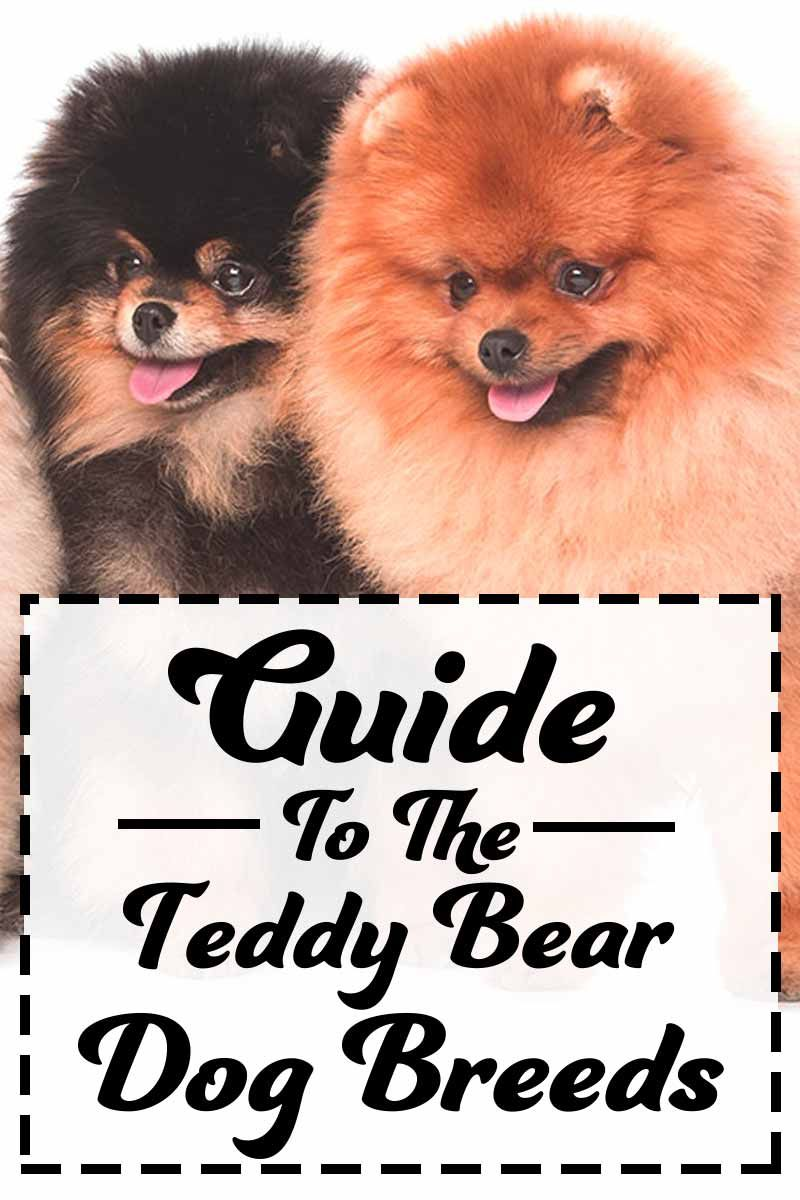 Teddy Bear Dog Breeds The Pups That Look Like Cuddly Toys